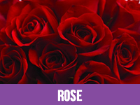 Fresh Rose Flower Suppliers in India