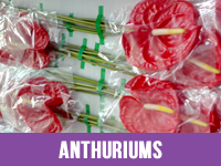 Fresh Anthuriums Flower Suppliers in India
