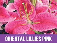 Best Fresh Oriental Lillies Pink Suppliers in India